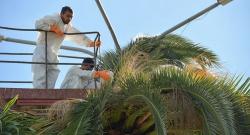 АБХАЗИЯ: Экологи не обнаружили новых фактов заражения долгоносиком пальм в Абхазии